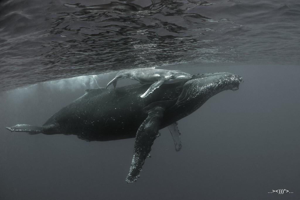 Photo baleines de Thierry Peres prise le 28 août 2017 vers le Cap La Houssaie