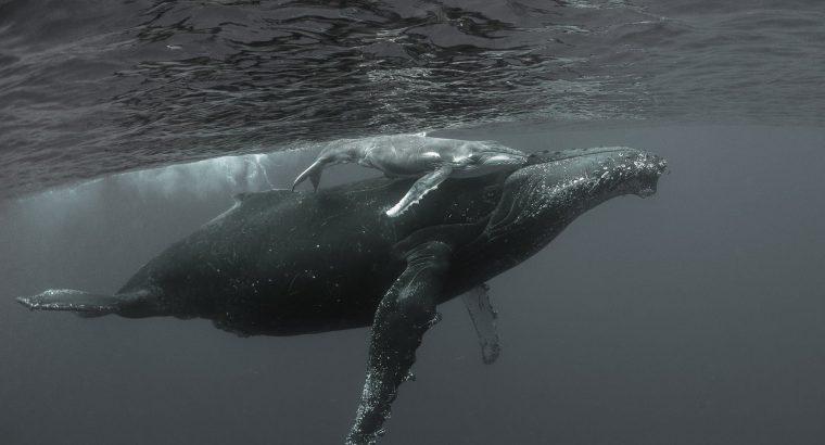 Où voir les baleines à La Réunion ?