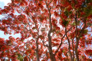 Les flamboyants rougeoyants de la Réunion