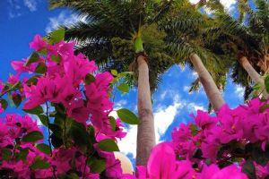 Les bougainvilliers colorés